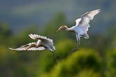 Egret de gado oriental fotografia de stock
