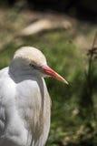 Egret de gado, pássaro Imagem de Stock Royalty Free