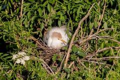 Egret de gado que Roosting no ninho imagens de stock