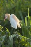 Egret de gado que senta-se no arbusto do screwpine Fotografia de Stock