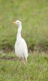Egret de gado solitário Imagens de Stock
