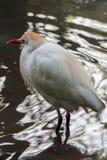Egret de gado uma espécie cosmopolita de garça-real encontrada nos trópicos imagem de stock royalty free