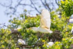 Egret de gado de voo em produzir a plumagem fotografia de stock