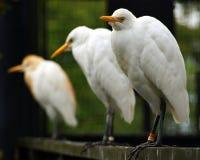 Egret de ganado Fotografía de archivo libre de regalías