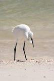Egret de ganado Fotografía de archivo