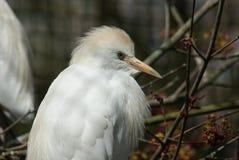 Egret de ganado Fotos de archivo libres de regalías