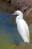 Egret de ganado Imagen de archivo
