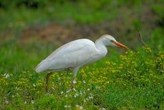Egret de ganado Foto de archivo
