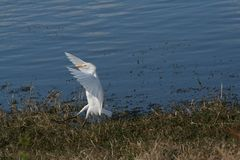 Egret de ganado Foto de archivo libre de regalías