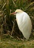 Egret de ganado (Bubulcus ibis) fotografía de archivo