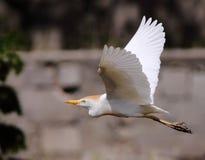 Egret de ganado común Imagen de archivo libre de regalías