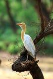 Egret de ganado común Fotos de archivo