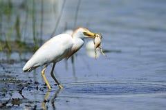 Egret de ganado con la rana Imagenes de archivo