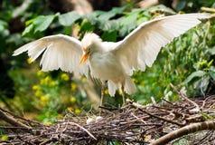 Egret de ganado con los huevos Foto de archivo libre de regalías