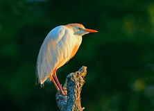 Egret de ganado en luz de oro Fotos de archivo