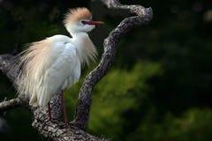 Egret de ganado en plumaje de la cría Imagen de archivo