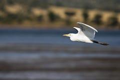 Egret de ganado occidental Fotos de archivo