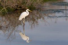 Egret de Great White na manhã foto de stock royalty free