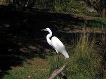 Egret de la nieve imágenes de archivo libres de regalías