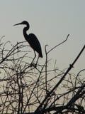Egret de la puesta del sol. Imágenes de archivo libres de regalías