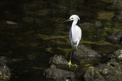 Egret de Snowy White Fotos de Stock Royalty Free