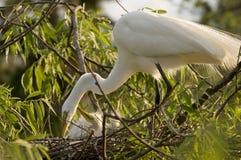 egret dei pulcini del bestiame Immagini Stock Libere da Diritti