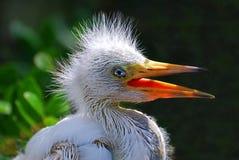 Egret del bambino Fotografie Stock