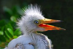Egret del bebé Fotos de archivo