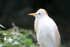 Egret di bestiame Fotografie Stock