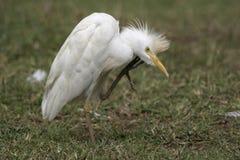 Egret di bestiame Fotografia Stock