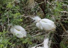 Egret di bestiame (Bubulcus Ibis) Fotografia Stock