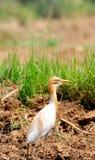 Egret di bestiame comune Fotografia Stock