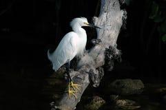 Egret di Snowy Immagini Stock