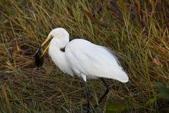 Egret di Snowy Fotografie Stock Libere da Diritti