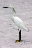 Egret di Snowy fotografia stock