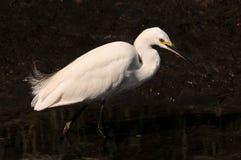 Egret di Snowy Fotografie Stock
