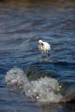 Egret di Snowy che mangia i pesci fotografie stock libere da diritti