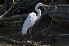 Egret di Snowy che si leva in piedi nella palude della mangrovia immagine stock libera da diritti