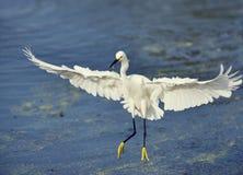 Egret di Snowy durante il volo Immagine Stock