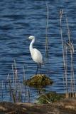 Egret di Snowy sulla roccia fotografia stock