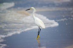 Egret di Snowy sulla spiaggia Immagine Stock Libera da Diritti