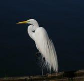 Egret di Snowy (thula del Egretta) Fotografie Stock Libere da Diritti