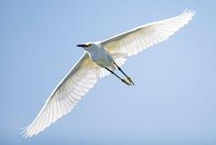 Egret di Snowy (thula del Egretta) Fotografia Stock