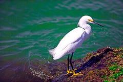 Egret di Snowy (thula del Egretta) Immagini Stock Libere da Diritti