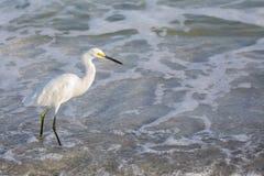 Egret di Snowy (thula del Egretta) Immagine Stock