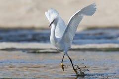 Egret di Snowy (thula del Egretta) Immagini Stock
