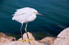 Egret di Snowy (thula dell'egretta) Immagine Stock
