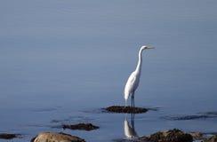 Egret diritto Fotografie Stock Libere da Diritti