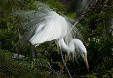 Egret displaying its showy breeding plumage, central Florida wet Royalty Free Stock Image