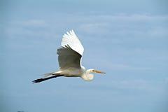 Egret do vôo Foto de Stock Royalty Free